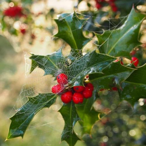 Ilex mit Spinnweben | VNP Verein Naturschutzpark