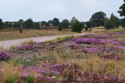 Thymianblüte im Naturschutzgebiet Lüneburger Heide genießen | VNP Stiftung