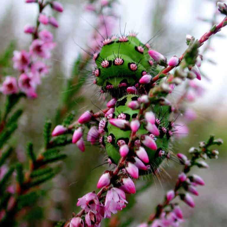 Raupe des kleinen Nachtpfauenauges (Saturnia pavonia)