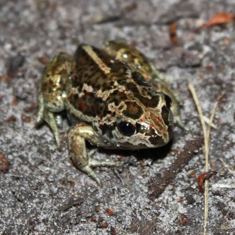 Garlic toad (Pelobates fuscus) | VNP Stiftung