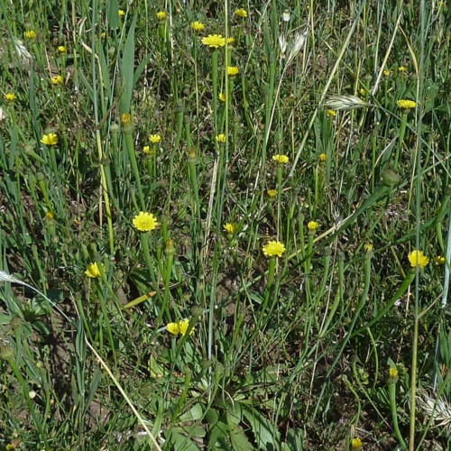 Lammkraut/Lämmersalat (Arnoseris minima)