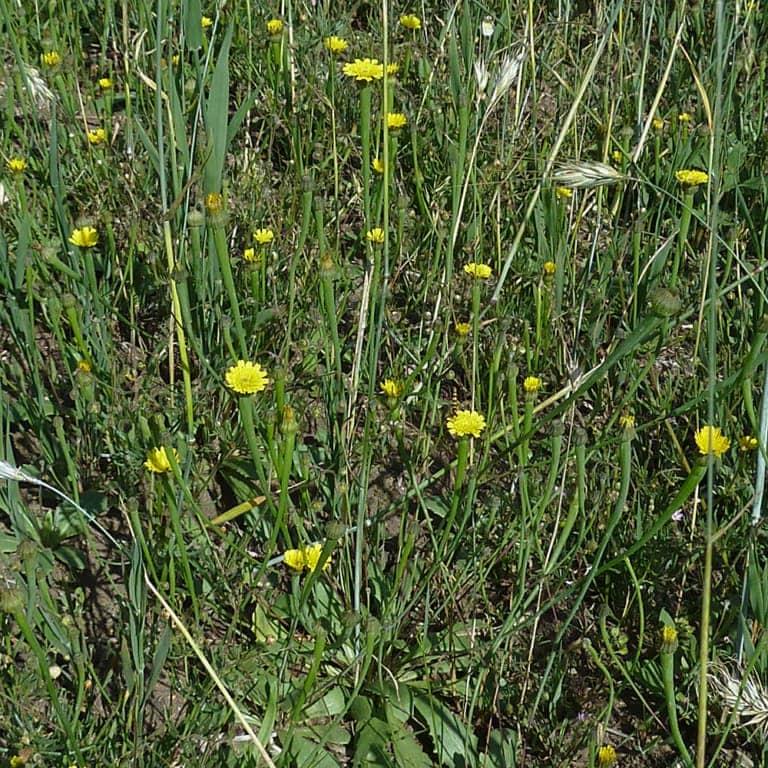 Lamb-succory/dwarf nipplewort (Arnoseris minima) | VNP Stiftung