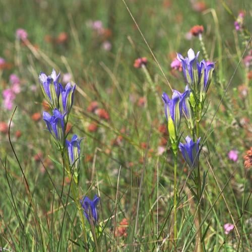 Lungenenzian (Gentiana pneumonanthe)