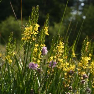 Moorlilie (Narthecium ossifragum) | VNP-Stiftung Naturschutzpark