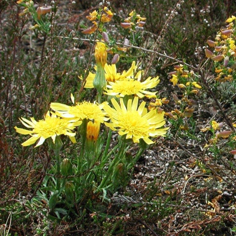Viper's-grass (Scorzonera humilis) | VNP Stiftung
