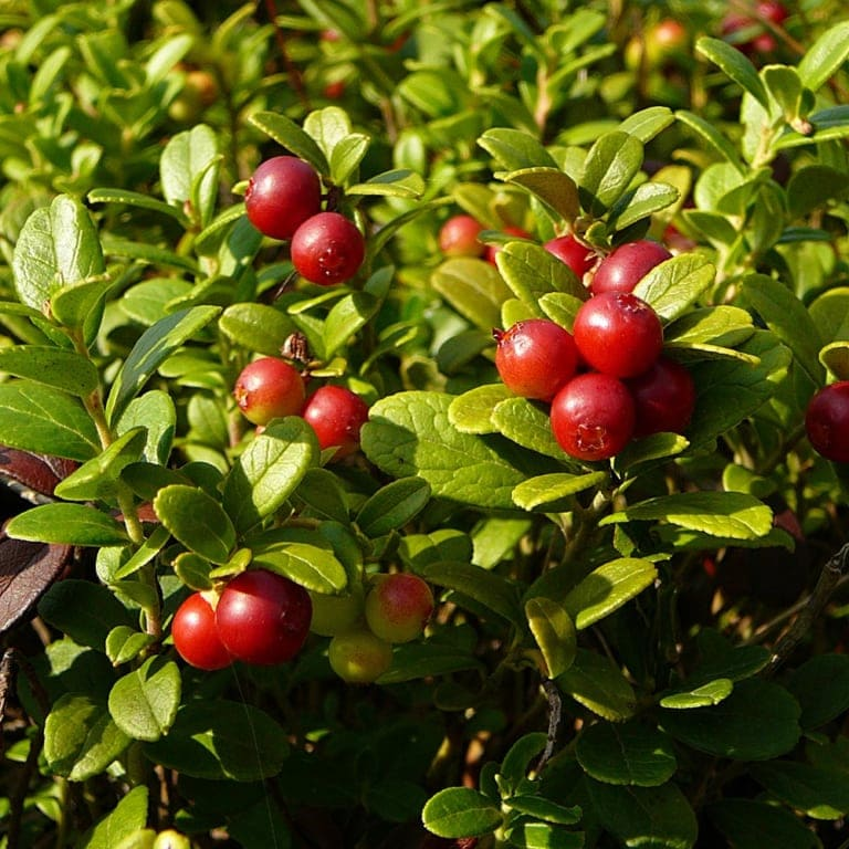 Lingonberry (Vaccinium vitis-idaea) | VNP Verein Naturschutzpark
