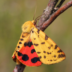 Purpurbär (Diacrisia purpurata) | VNP-Stiftung Naturschutzpark