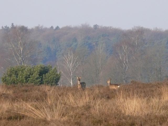 Herbst: Rehwildbegegnung am Herbstmorgen | Foto: VNP Stiftung Naturschutzpark Lüneburger Heide