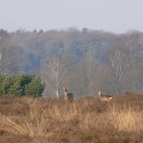 Rehwildbegegnung in der Lüneburger Heide an einem Herbstmorgen | VNP Stiftung
