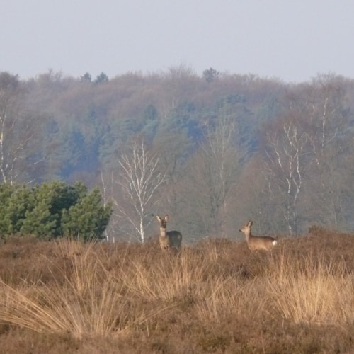 Roe deer encounter in the Lueneburg Heath on an autumn morning   VNP Stiftung