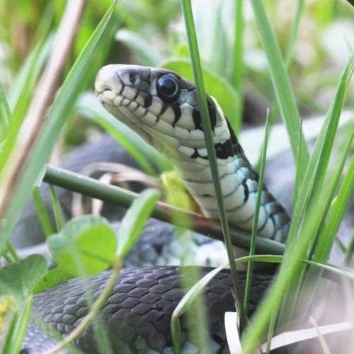 Grass snake/ringed snake (Natrix natrix)   VNP Stiftung