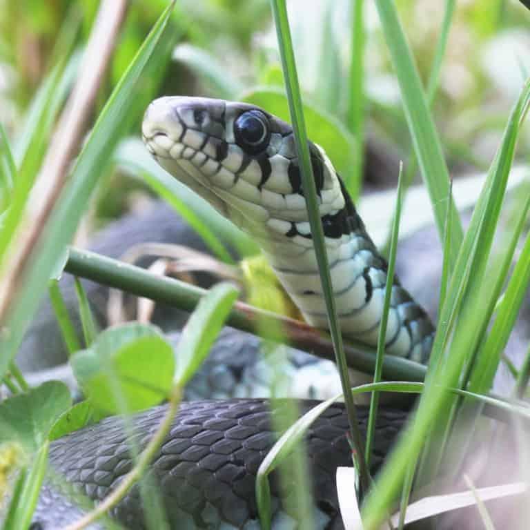 Grass snake/ringed snake (Natrix natrix) | VNP Stiftung