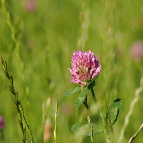 Rotklee/Wiesenklee (Trifolium pratense)