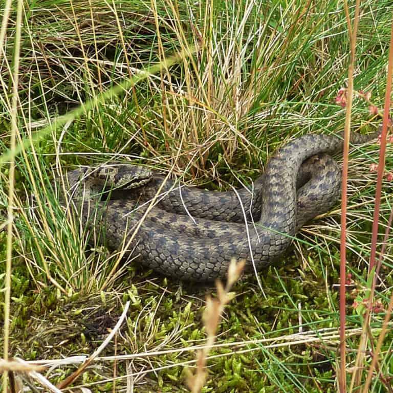 Smooth snake (Coronella austriaca) | VNP Stiftung