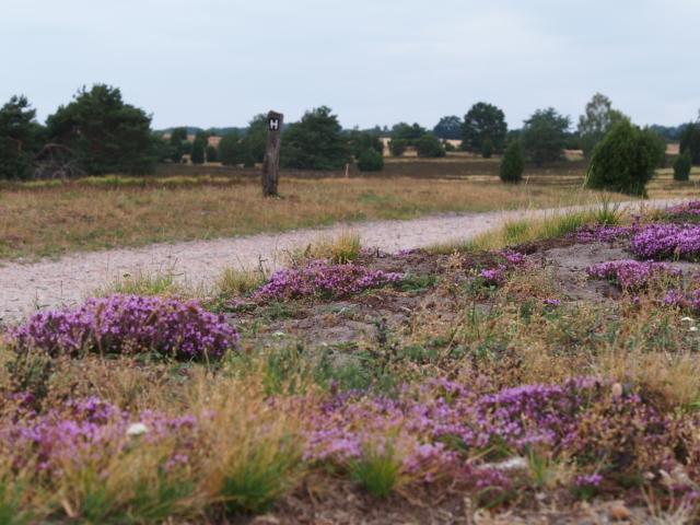 Sommer: Thymianblüte im Juli | Foto: VNP Stiftung Naturschutzpark Lüneburger Heide