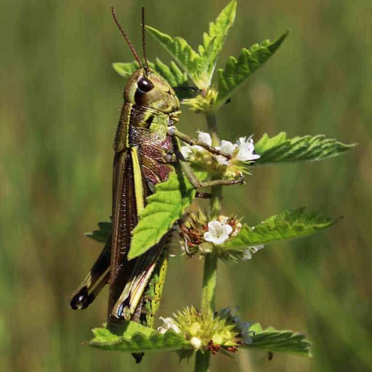 Large marsh grasshopper (Stethophyma grossum) | VNP Stiftung