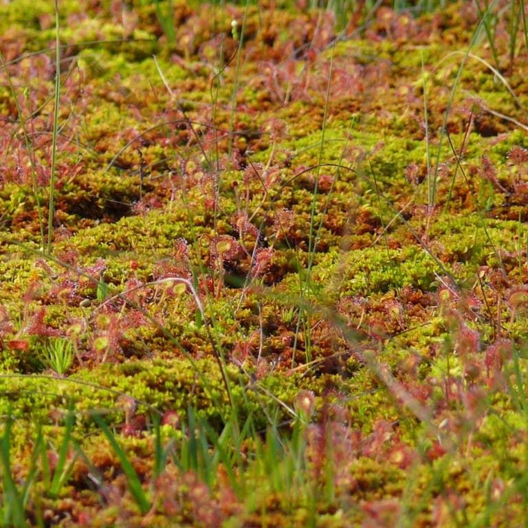 Carpet of various sphagnum mosses | VNP Verein Naturschutzpark