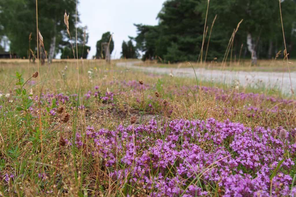 Thymianpolster blühen am Wegesrand im Naturschutzgebiet Lüneburger Heide