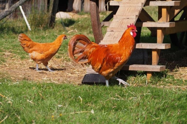 VNP School Farm: Chickens | VNP Children's Academy