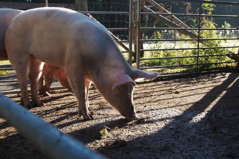 VNP Schulbauernhof Hoftiere: Schweine | VNP Kinderakademie