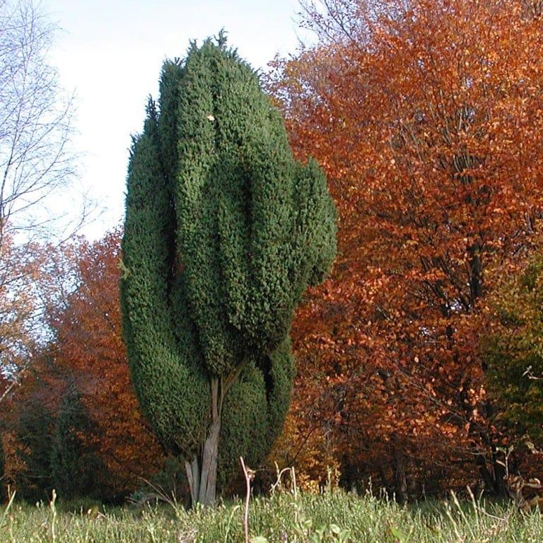 Juniper (Juniperus communis) | VNP Stiftung