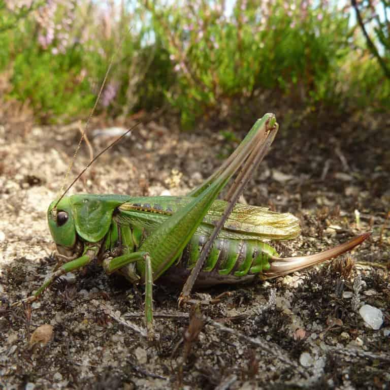 Wart-biter (Decticus verrucivorus) cricket | VNP Stiftung