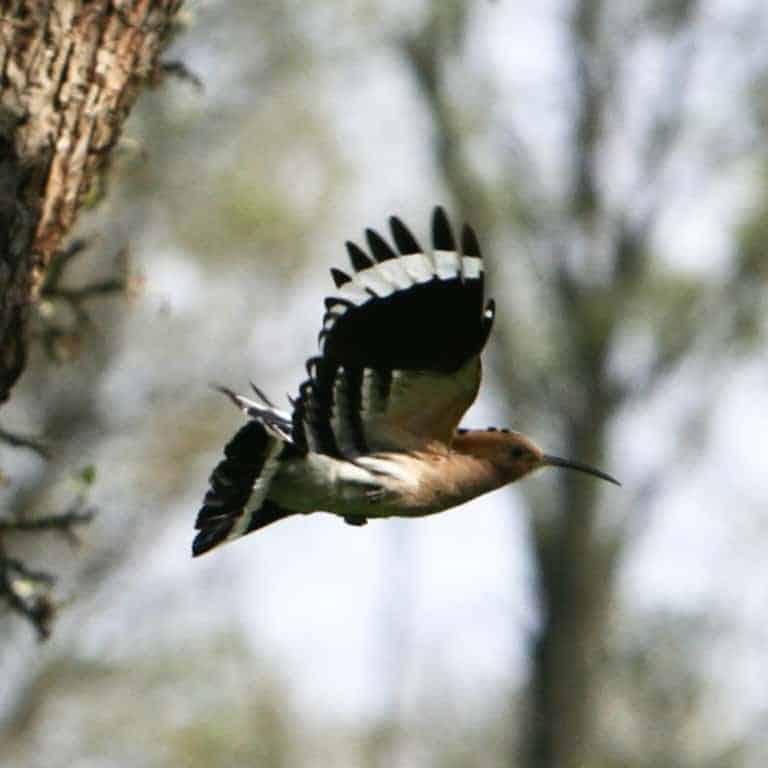 Eurasian hoopoe (Upupa epops) | VNP Stiftung