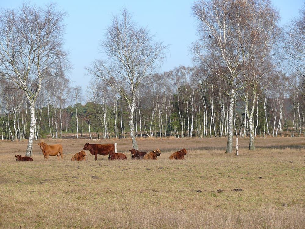 Beweidung durch Wilseder Rote Rinder auf Hof Tütsberg | VNP Stiftung