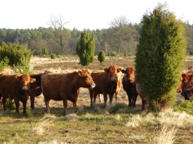 Wilseder Rote cattle in the heath   VNP Stiftung