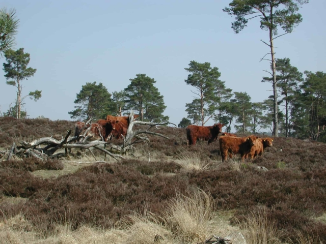 Wilseder Rote cattle in the pine tree heath   VNP Stiftung