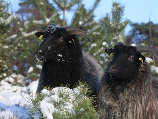 Winter: Heidschnucken im Schnee | Foto: VNP Stiftung Naturschutzpark Lüneburger Heide
