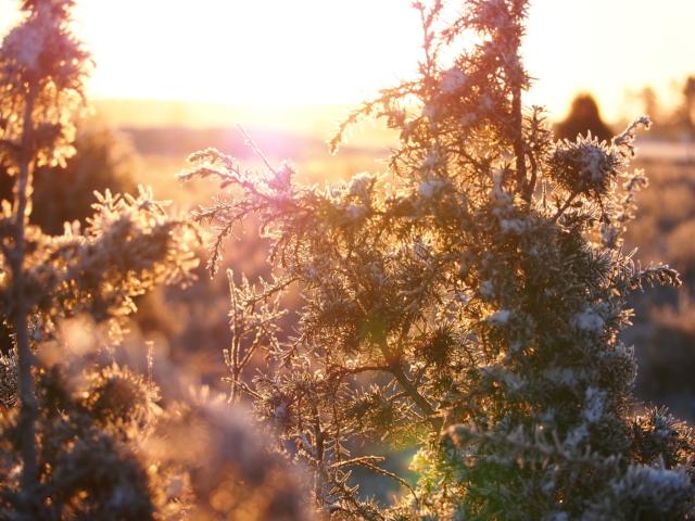 Winter: Wacholder mit Raureif im Gegenlicht | Foto: VNP Stiftung Naturschutzpark Lüneburger Heide