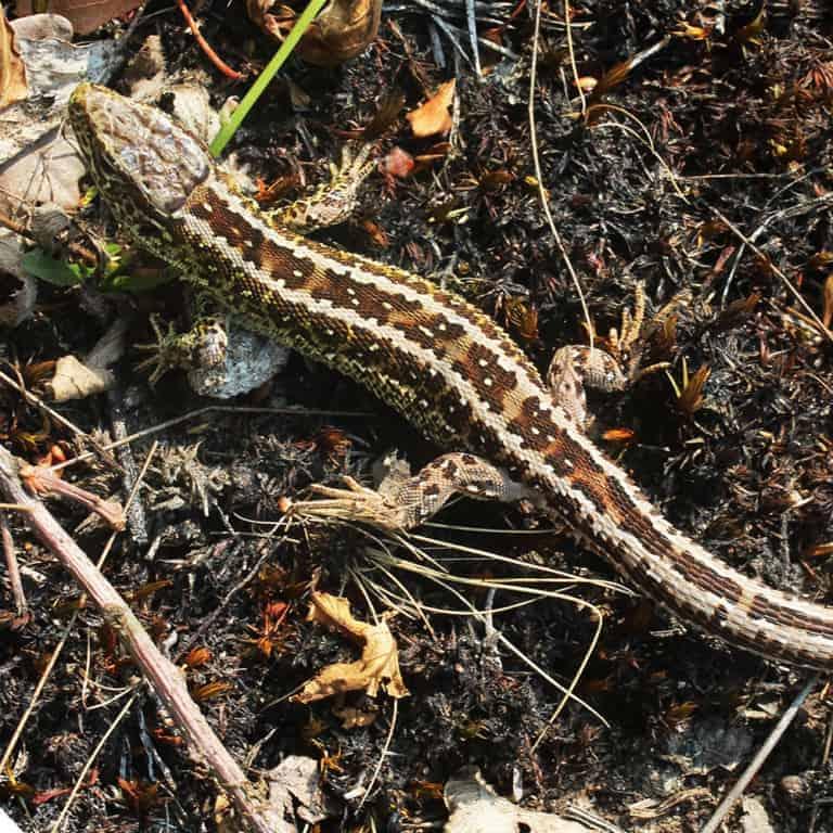 Sand lizard (Lacerta agilis) | VNP Stiftung