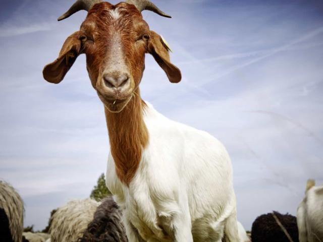 Goat   Photo: Christian Burmester