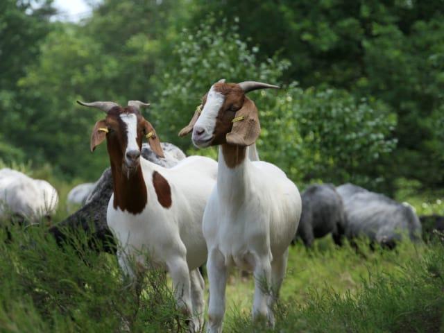 Goats   VNP Stiftung