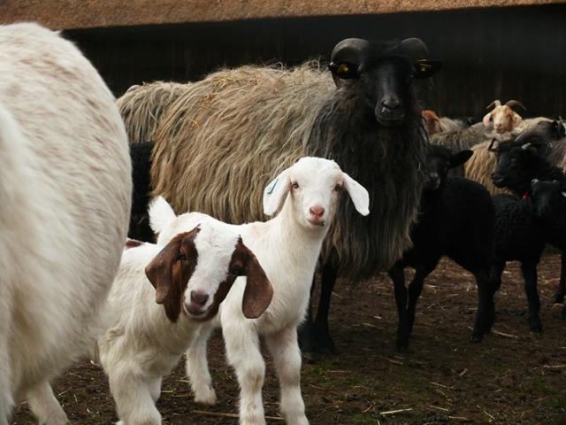 Goat kids   VNP Stiftung