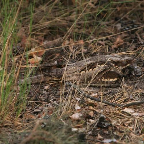 Ziegenmelker (Caprimulgus europaeus)