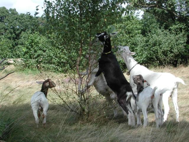 Browsing goats   VNP Stiftung